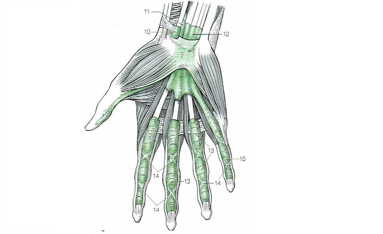 手のひらと指の腱鞘
