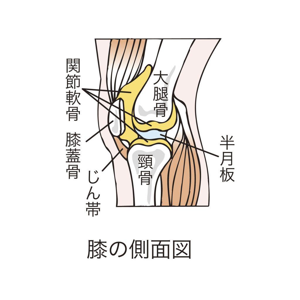 膝の側面図