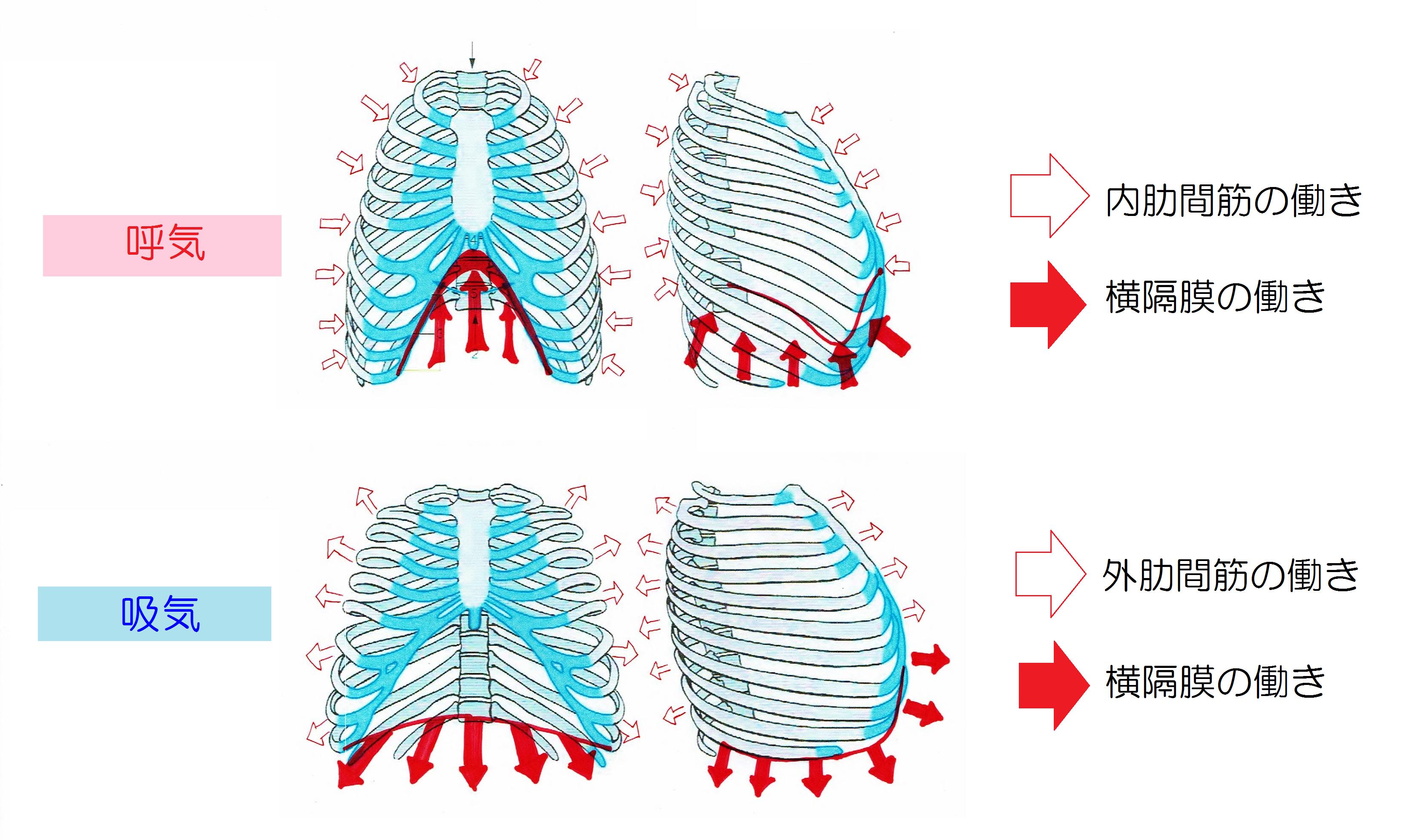 呼吸時の胸部の働き