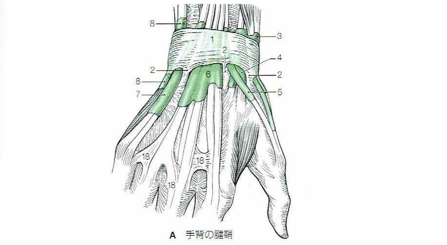 手の腱と腱鞘