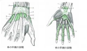 手の甲と手のひらの腱鞘