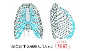 胸と背中を構成している「胸郭」